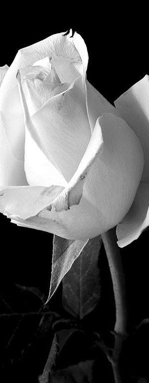 Flugblatt Aktion der weißen Rose