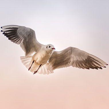 Fliegende Möwe mit Flügeln